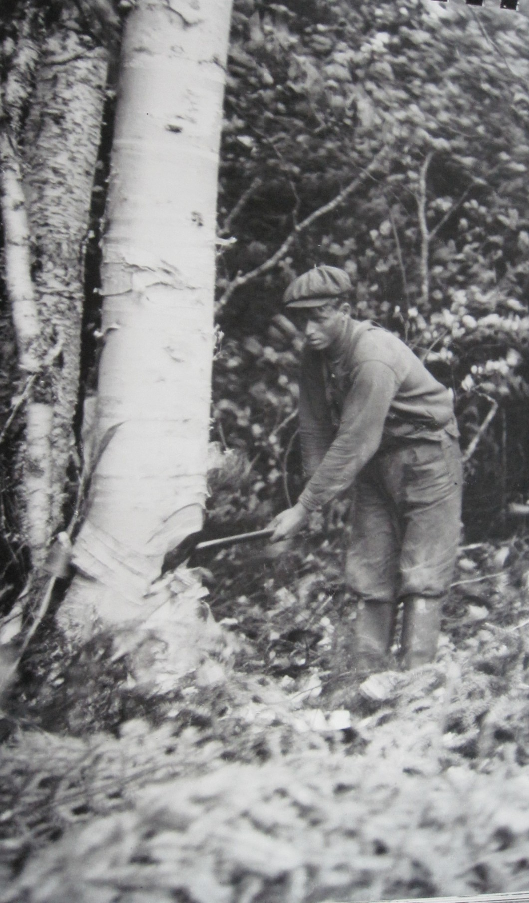 A.N.D Co logger chopping down a tree circa 1919. (GFWHS)